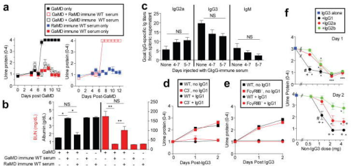 Ag-specific IgG1 prevents IgG3-mediated glomerulopathyBALB/c γ1- mice (5/gp) were injected with GaMD on day 0 and/or GaMD-immune or rabbit anti-mouse IgD (RaMD) immune WT serum daily on d4-7. a,b, Urine protein (a) and d12 serum albumin and BUN levels (b). * p<0.05, **p<0.005, NS = not significant. c, BALB/c γ1- mice (5/gp) were injected with GaMD on d0 ± GaMD immune WT serum daily on d4-7 or 5-7. Spleens were harvested and cultured on d8; 24 hr culture supernatant IgG2a, IgG3, and IgM anti-goat IgG titers were determined. No anti-goat IgG Ab was detected in culture supernatants from non-immune spleen cells. d, WT and C3-deficient (C3-) mice (4/gp) were injected s.c. with 100 μl of TNP-goat serum and i.v. with 4 mg of mouse IgG3 anti-TNP ± 5 mg of IgG1 anti-TNP mAbs on d0 and 1. Urine was analyzed on d0, 1 and 2. e, WT and FcγRIIB-deficient (FcγRIIB-) mice (4/gp) were injected s.c. with 100 μl of TNP-goat serum and i.v. with 4 mg of IgG3 anti-TNP ± 5 mg of IgG1 anti-TNP on d0 and 1. Urinalysis on d0, 1 and 2. f, BALB/c mice were injected i.v.with 4 mg IgG3 anti-TNP and s.c. with 1.4 mg of TNP-BSA on days 0 and 1. Some mice were also injected with 0.625, 1.25, 2.5, or 5 mg of switch variant IgG1, IgG2a or IgG2b anti-TNP mAbs on d0 and 1. Urine protein was determined on d0 (not shown), d1 (upper panel) and d2 (lower panel). Results are pooled from a total of 7 experiments. Group size: IgG3 alone: 19 mice; 0.625 mg of IgG1, IgG2a, or IgG2b: 4 mice; 1.25 mg of IgG1, IgG2a or IgG2b: 8 mice; 2.5 mg of IgG1, IgG2a or IgG2b: 6 mice; 5 mg of IgG1, IgG2a or IgG2b: 8 or 9 mice. The significance of differences between treatment groups was determined with a normal regression model with the covariates: group, dose and group-dose interaction; a t-test was used to evaluate the significance of the difference in least square means for each of these effects. This procedure was used to evaluate urine protein, measured at day 1 and day 2. A p-value less than or equal to 0.05 after applying the Tukey adjustment for multiple comparisons was judged to be significant. # p<0.05 as compared to IgG2a plus IgG3. +p<0.05 as compared to IgG2b plus IgG3. *p<0.05 as compared to IgG3 alone.