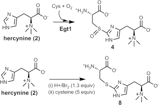 Enzymatic and chemical syntheses of EgtE substrate candidates (4 & 8).