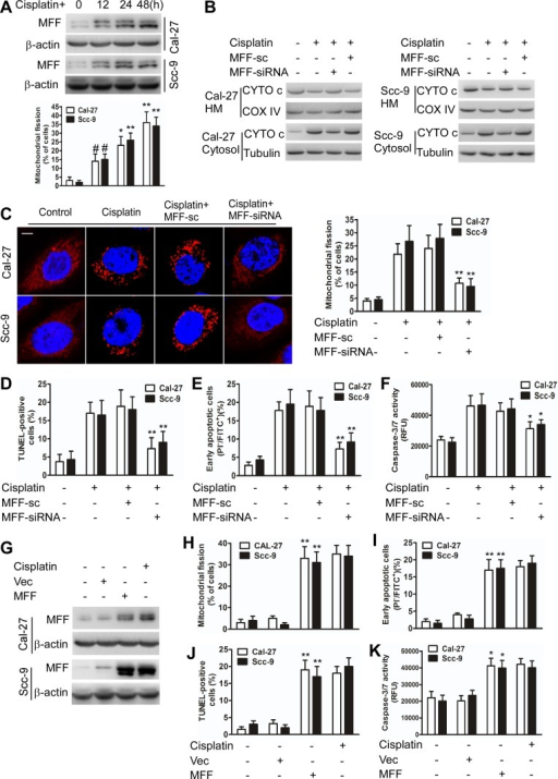 MFF regulates mitochondrial fission and apoptosis in TSCC cells after cisplatin treatmentA, Cisplatin induces mitochondrial fission with elevated MFF protein levels in Cal-27 and Scc-9 cells. Upper panel: MFF levels were analyzed via immunoblotting after cisplatin treatment. Lower panel: the quantification of cells with mitochondrial fission. #P < 0.05 versus no cisplatin treatment; *P < 0.01 versus no cisplatin treatment; **P < 0.001 versus no cisplatin treatment. B, Cytochrome c (CYTO c) distribution in mitochondria-enriched heavy membranes (HM) or the cytosol as detected via immunoblotting. C, D, E and F, Knockdown of MFF attenuated cisplatin-induced mitochondrial fission and apoptosis in Cal-27 and Scc-9 cells. Mitochondrial fission was detected via staining with MitoTracker Red. Scale bar equals 3 μm. Cell apoptosis was detected using TUNEL, flow cytometry, and caspase-3/7 activity assays. *P < 0.01 versus cisplatin alone; **P< 0.001 versus cisplatin alone. G, Cal-27 and Scc-9 cells transiently transfected with MFF expressing plasmids for 24 h were analyzed for MFF levels via immunoblotting. H, I, J and K, Mitochondrial fission and apoptosis were detected via staining with MitoTracker Red, flow cytometry, TUNEL, and caspase-3/7 activity assays. *P < 0.01 versus no cisplatin treatment; **P < 0.001 versus no cisplatin treatment.