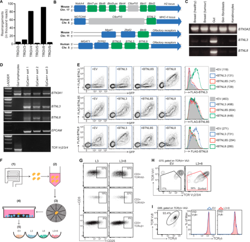 Human Intestinal γδ Cells and the Selective Impact on Them of BTNL3 and BTNL8 Co-expression, Related to Figure 7(A) FACS-sorted γδ T cells harvested from human intestinal tissue were analyzed by deep sequencing for TCR Vγ chain usage. (B) Schematic illustrating the murine and human Btnl2/BTNL2 and Btnl9/BTNL9 loci, adapted from the NCBI gene viewer. (C) Conventional RT-PCR analysis of BTN3A2, BTNL3 and BTNL8 expression in the indicated tissues. (D) Conventional RT-PCR analysis of BTN3A1, BTNL3, BTNL8, EPCAM and TCR Vγ2/3/4 expression in the indicated samples. (E) Cell surface expression of FLAG-BTNL3, FLAG-BTNL8S or FLAG-BTNL8 co-transfected in HEK293 cells with the indicated constructs. Histogram overlays show the expression of each BTNL after gating on GFP+ cells (numbers in brackets indicate geometric mean fluorescence intensity, gMFI). (F) Schematic illustrating the method of human intestinal tissue-resident lymphocytes isolation and co-culture with HEK293 transductants. (1) Endoscopic biopsies recovered from ascending colon of healthy donors. (2) Washed in complete media supplemented with antibiotic. (3) 1 biopsy applied to each matrix. (4) Culture for 5-7 days in complete medium supplemented with antibiotics, IL-2 and IL-15. (5) Co-culture with HEK293 cell lines transduced with EV, L3, L8 or L3+8. (G) Cell surface CD25 expression on indicated subsets of human gut-derived lymphocytes after co-culture with EV versus L3+8-transduced HEK293 cells. (H) Gating parameters for sorting of Btnl3+8-responsive human gut-derived lymphocytes. (I) TCRVγ chain usage (left) and cell surface TCRγδ expression (right) in gut-derived γδ T cells (isolated from a donor unresponsive to BTNL3+8) after co-culture with EV versus L3+8-transduced HEK293 cells.
