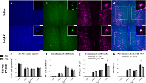 The medial prelimbic cortex has deficits in PNNs that emerge during early adulthood (PND90).Panels show DAPI (a), PV+ cells (b), PNNs ((c); stained with WFA) from representative rats at PND90. Across both conditions the total number of DAPI labelled nuclei decreased from PND7 to PND21 before plateauing (main effect of Age, p < 0.0001). PV cell density increased from PND7 to PND35 before declining at PND90 (main effect of Age, p < 0.0001). PNN density increased throughout postnatal development with the greatest increases occurring from PND7 to 21, and PND35 to 90 (main effect of Age, p < 0.0001; Age × Treatment, p < 0.0001; Treatment, p < 0.05). In the PND90 cohort, a significant deficit in PNN density emerged in polyI:C treated animals as compared to saline-treated (p < 0.0001). There was also a significant reduction in the number of PV cells ensheathed in a PNN (main effect of Age, p < 0.0001; Treatment, p < 0.001). Insets are representative images from each condition. Scale bar represents 250 μm. *p<0.001.