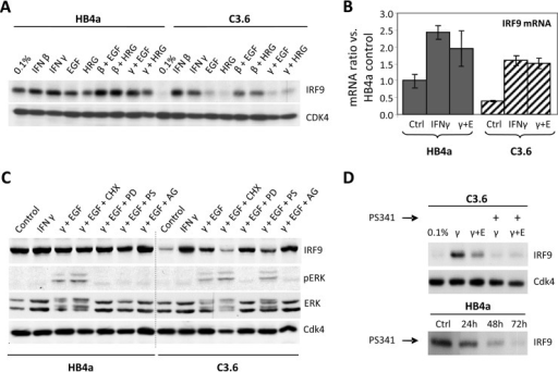 A, Western blotting showing suppression of IRF9 expression in C3.6 cells that could be induced by IFNβ or IFNγ treatment (24 h) and blocked by co-treatment with EGF or HRGβ1. CDK4 expression served as a loading control. B, IRF9 mRNA levels in IFNγ and IFNγ plus EGF (γ+E) co-treated HMLECs measured by qRT-PCR. C, IRF9 expression and ERK signaling in HMLECs treated with IFNγ and IFNγ plus EGF with or without pretreatment with protein synthesis inhibitor cycloheximide (CHX), MEK inhibitor PD098059 (PD), proteasome inhibitor PS341 (PS), or ErbB receptor kinase inhibitor AG1478 (AG). CDK4 expression served as a loading control. D, IRF9 protein expression is decreased by proteasome inhibitor (PS341) treatment in IFNγ-stimulated C3.6 cells (upper panel) and randomly growing HB4a cells (lower panel).