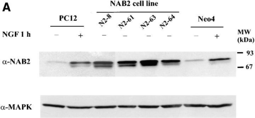Overexpression of NAB2 in PC12 cell stable transfectants. (A) Total protein was isolated from wild-type PC12 cells,  cell lines stably transfected with NAB2 (N2-8, N2-61, N2-63, N2-64), and a cell line transfected with non-recombinant vector  (Neo4) grown in the presence or absence of NGF for 1 h. Protein  lysates were electrophoresed on an SDS–polyacrylamide gel,  blotted onto nitrocellulose, and then probed with an mAb directed against NAB2. To ensure equal loading of samples, the  blot was stripped and re-probed with a p44/42 MAPK antibody.  (B) Wild-type PC12 cells and a NAB2 stably transfected cell line,  N2-8, were grown on chamber slides. The cells were either  treated with NGF for 1 h or left untreated. Immunocytochemical  analysis was performed using an mAb directed against NAB2.