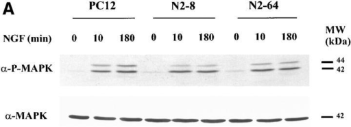 NGF-mediated MAP kinase activation and immediate-early gene induction are intact in NAB2-overexpressing PC12  cells. (A) Total protein was collected from wild-type PC12 cells  and two NAB2 stably transfected cell lines, N2-8 and N2-64,  which had been treated with NGF for the indicated times. The  samples were blotted with an antibody against phosphorylated  MAP kinase (α-P-MAPK). The blots were stripped and re-probed with anti–MAP kinase antibody (α-MAPK) to show that  equal amounts of protein were loaded in each lane. (B) RNA was  isolated from wild-type PC12 cells and a NAB2 stably transfected  cell line (N2-8) after stimulation with NGF for the indicated  length of time. RNA blot analysis was performed using 10-μg  samples of total RNA per lane and a 32P-labeled Egr1 probe. The  18S ribosomal RNA band visualized with ethidium bromide is  shown below to demonstrate equal loading.