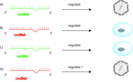 Four different ways for viral (v) ncRNAs and cellular (c) ncRNAs to interact in mammalian cells. A) shows vncRNA regulating virus; B) shows cncRNA regulating cells; C) shows vncRNA regulating cells; D) illustrates cncRNA regulating virus. Experimental evidence compatible with each of these four pathways exists in the published literature.