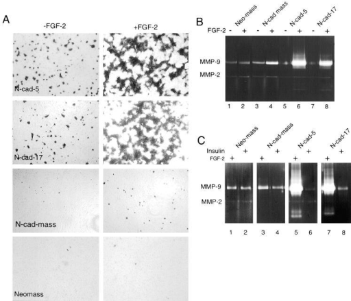 FGF-2 stimulates Matrigel invasion of N-cadherin–expressing cells and expression of MMP-9. (A) Invasion through Matrigel-coated filters of control and N-cadherin–expressing cells, pretreated for 24 h with 10 ng/ml of FGF-2 or left untreated, as measured 5 h after inoculation into Transwell chambers. The invading cells were stained (see Materials and Methods) and photographed using a digital microscope camera. Each panel illustrates a sample representing three to six filters. (B) Gelatinolytic activity of conditioned media of control (Neo-mass) (lanes 1 and 2) or N-cadherin–transfected MCF-7 cells (N-cad-mass, N-cad-5, and N-cad-17; lanes 3–8) that were either treated with FGF-2, or left untreated, as indicated. (C) Gelatinolytic activity of conditioned media of Neo-mass, N-cad-mass, N-cad-5, and N-cad-17 that were pretreated for 24 h either with 10 ng/ml of FGF-2 (lanes 1, 3, 5, and 7, respectively) or 5 μg/ml insulin (lanes 2, 4, 6, and 8, respectively).