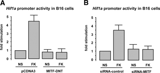 MITF is required for cAMP-dependent Hif1a expression. (A) Hif1a promoter activity assays on B16 cells cotransfected with either an empty vector (pCDNA3) or a construct encoding a dominant-negative mutant of MITF (MITF-DNT) and treated (or not) (NS) with the cAMP-elevating agent forskolin (FK). Results are expressed as the fold stimulation of the luciferase activity compared with the pcDNA3-transfected nonstimulated condition. (B) The same experiment was performed by cotransfecting the Hif1a promoter with either an siRNA-targeting MITF (siRNA-MITF) or a nonrelevant siRNA (siRNA-control).