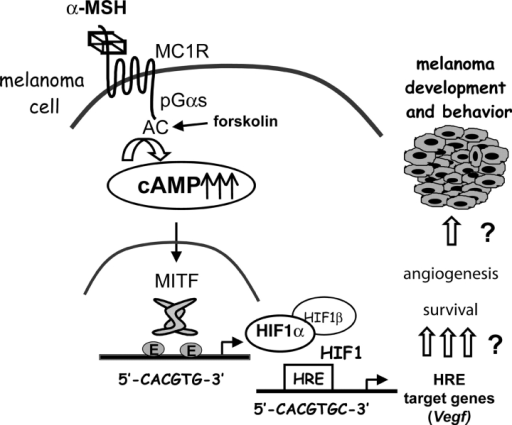 Model for the mechanisms of cAMP induction of HIF1α expression. α-MSH, by up-regulating the cAMP pathway, increases MITF expression. MITF binds and transactivates the Hif1a promoter, thereby increasing the expression of Hif1a gene and protein in a melanocyte cell–specific manner. HIF1α dimerizes with HIF1β to constitute a functional HIF1 transcription factor that is capable of activating target genes such as Vegf and up-regulate other genes involved in melanocyte cell survival and angiogenesis to participate in melanoma development and behavior.