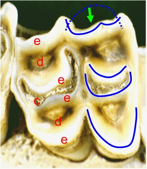 Shows a sheep's tooth with scooped out dentine (d) and cementum (c) leaving 'sickle'-shaped enamel blades (e) (shown in blue). The green arrow shows the movement direction of the blade system (dotted green line) from teeth in the opposing arch that causes scissorial point cutting where the blades contact