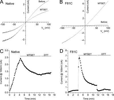 dBest1-F81C–rescued cells respond differently to MTSET+ modification than native S2 cells. Whole cell VRAC currents were established in hyposmotic solutions (I340/E300, Δ40 mosmol kg−1) and were recorded with voltage ramps from −100 to 100 mV. 1 mM MTSET+ was applied to the bath solution (E300) after the volume-sensitive current was fully activated. The bath was then replaced with 5 mM DTT to test if the effect of MTSET+ was reversible. (A and B) Current–voltage relationships in native (A) and dF81C-rescued (B) S2 cells before and after MTSET+ modification. (C and D) Time course of the effect of MTSET+ modification on native (C) and F81C-rescued (D) VRAC currents. These time course data were collected from the same cells shown in A and B.