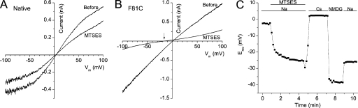 MTSES− increases the cation permeability of F81C currents. Current–voltage relationships from a typical native S2 cell (A) and a S2 cell rescued with F81C (B) before and after MTSES− modification. Currents were activated with Δ40 mosmol kg−1 hyposmotic solutions. The arrow in B points out the reversal potential of F81C current after MTSES− treatment. (C) Changes in Erev of F81C currents under different ionic conditions. The record begins after the dBest1 current had stabilized under hyposmotic solutions (I340/E300, Δ40 mosmol kg−1). MTSES− was then applied in the bath. Extracellular solution containing symmetrical Cl− and Na+ as the major cation (E300) was then replaced by solutions with Cs+ or NMDG+ as the major cations as indicated. The osmolality of all the extracellular solutions was 300 mosmol kg−1.