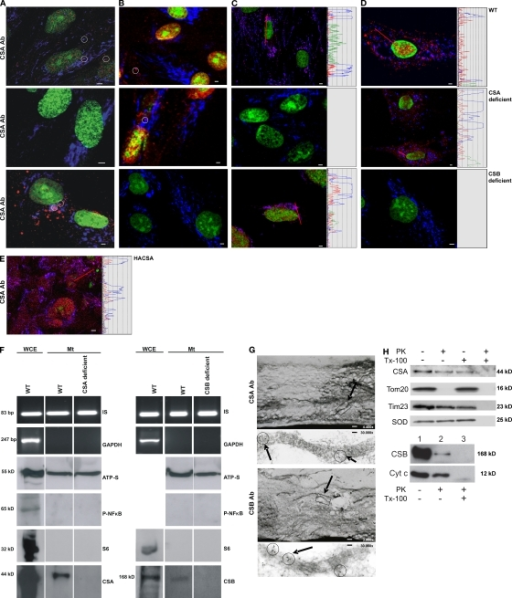 Mitochondrial localization of CSA and CSB in oxidatively stressed cells. Confocal laser scanning microscopy with green fluorescence for nuclear staining, blue fluorescence for mitochondrial staining, and red fluorescence staining for either CSA (A) or CSB (B). Pink fluorescence results from colocalization (white circles) of red mitochondrial CSA/CSB and blue mitochondrial staining. Pictures are representatives of at least five separate experiments. Bar, 1 µm. Exposure of cells to 25 µM H2O2 for 12 h leads to signal increase for mitochondrial CSA (C) and CSB (D). Histograms show signal intensities along the red line in the picture with simultaneous signal increment. (E) CSA-deficient fibroblasts transfected with CSA WT protein. Pictures are representatives of at least three independent experiments. Bar, 1 µm. (F) Whole-cell extracts (WCE) and mitochondrial extracts (Mt) prepared from H2O2-treated cells. Presence of mtDNA (IS) and absence of nuclear DNA (GAPDH), shown by PCR. Immunoblotting of mitochondrial ATP-synthetase β, phospho-NF-κB, S6, CSA, and CSB. Pictures are representatives of at least three independent experiments. (G) Electron microscopic image of oxidatively stressed normal human fibroblasts stained with gold-labeled (circles) CSA (top) or CSB (bottom). Bars: (top CSA image) 1.1 µm; (top CSB image) 1.6 µm; (bottom) 165 nm. Electron micrographs are representatives of at least two separate experiments. (H) Top: mt (10 µg protein per lane) isolated from H2O2-treated WT cells were incubated where indicated with 100 µg/ml proteinase K (PK) in the presence or absence of Triton X-100 (Tx-100). SDS-PAGE of mitochondrial proteins with antibodies against CSA, Tom20, Tim23, and superoxide dismutase (SOD). Bottom: mt (25 µg per lane) isolated from H2O2-treated WT cells were incubated with 25 µg/ml proteinase K (PK) in the presence or absence of Triton X-100 (Tx-100). SDS-PAGE of mitochondrial proteins with antibodies against CSB and cytochrome C. Pictures are representatives of at least two independent experiments.