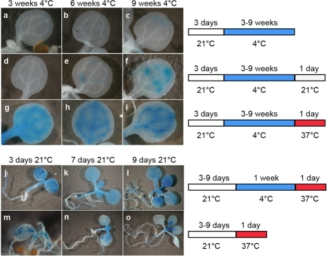 A temperature shift can release transcriptional silencing of a transgenic locus.Representative images of histochemical staining for GUS activity (left) performed on seedlings grown under the conditions defined on the right. Plants grown for 3 days at 21°C were transferred to 4°C for 3–9 weeks (a–c) and then shifted to either 21°C (d–f) or 37°C (g–i) for 1 day. Seedlings at 3, 7, and 9 days post-sowing were transferred at 4°C for 1 week and shifted to 37°C for 1 day (j–l), or directly shifted to 37°C for 1 day omitting the cold treatment (m–o).