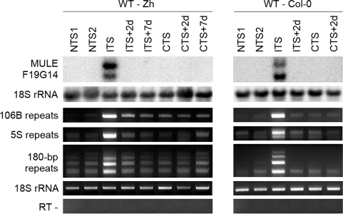 Temperature shift induces transient transcriptional activation of endogenous silent loci.RNA was purified from plants of the Zurich (Zh) and Col-0 accessions after the indicated treatments. Detection of MULE-F19G14 transcripts was performed by Northern blot. Hybridization with an 18S rRNA-specific probe is shown as a loading control. Transcripts corresponding to 106B, 5S and 180-bp repeats were detected by reverse transcription-PCR (RT-PCR). Amplification of 18S rRNA was used to normalize the amounts of RNA template. Negative controls lacked reverse transcriptase (RT -).