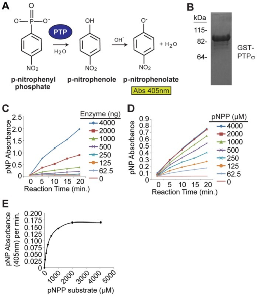 an experiment on alkaline phosphatases rates of reaction with p nitrophenol phosphate Of ma- alkaline phosphatase catalyzed reaction in four inorganic phosphate is rate to p-nitrophenol concentration experiments were.