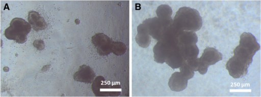 Representative image of cell morphology of ES-D3 cells during spontaneous differentiation on alginate gels of varying Young's modulus. Cells on softer alginate gels (516 Pa, Figure 3A) were generally more numerous, but smaller after 3 days of spontaneous differentiation, while cells on stiffer substrates (1337 Pa, Figure 3B) formed larger clumps in a shorter time frame.