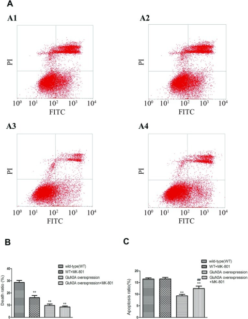 FCM results of NG108-15 cell viability after glutamate injury(A) FCM results. The lower left quadrants of each dot blot showed the viable cells (FITC−/PI−). The lower right quadrants represented the apoptotic cells (FITC+/PI−) and the upper right quadrants indicated the necrotic cell population (FITC+/PI+). Markers A1–A4 represented the WT (wild-type), WT+MK-801, GluN3A overexpressing and GluN3A+MK-801 cells, respectively. (B, C) Statistical analysis of the death ratio (B) and apoptosis ratio (C). Data were presented as means±S.E.M., **P<0.01, relative to vector alone (control), ##P<0.01, relative to the group with GluN3A overexpression and without MK-801 pretreatment.