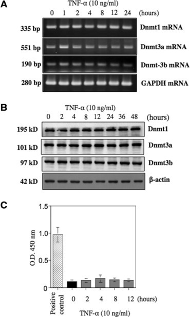 Expression and activation levels of DNA methyltransferases in TNF-α-treated NS-SV-AC acinar cells. (A) RT-PCR analysis of the expression of Dnmt1, Dnmt3a and Dnmt3b mRNAs in TNF-α-treated NS-SV-AC acinar cells. NS-SV-AC acinar cells expressed Dnmt1, Dnmt3a and Dnmt3b mRNAs under the basal condition. After exposure to 10 ng/ml TNF-α, the expression levels of the three Dnmt mRNAs showed no significant changes. (B) Western blot analysis of Dnmt1, Dnmt3a and Dnmt3b proteins in TNF-α-treated NS-SV-AC acinar cells. There were no marked increases in the expression levels of these three Dnmts with TNF-α treatment. These results were similar to those observed by RT-PCR analysis. (C) Methylation activity assay of TNF-α-treated NS-SV-AC acinar cells. The methylation activity of TNF-α-treated NS-SV-AC cells was measured by using the EpiQuik™ DNA Methyltransferase Activity Assay Kit. The results are expressed as optical density at a wavelength of 450 nm, and are the means ± S.D. of three separate experiments. The results were analysed using the Mann–Whitney U-test. *P < 0.05 compared with control cells.