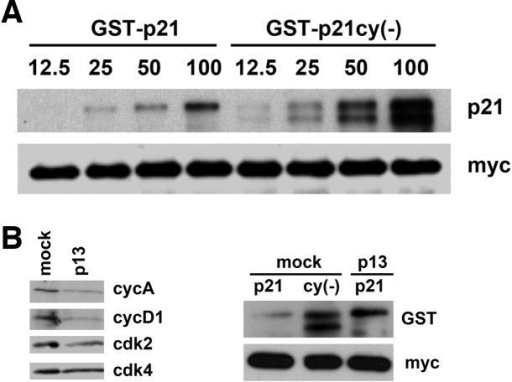 The association of TRIM3 with p21 is reduced in the presence of cyclin-cdk complexes binding to p21(A) Immunoblot. GST-p21 and GST-p21cy(-) were produced and purified from E. coli and the amount indicated above each lane (ng) was incubated with 0.5mg total cell extract obtained from myc-TRIM3 transfected 293T cells. myc-TRIM3 was subsequently immunoprecipitated and the amount of TRIM3 and p21 determined by immunoblotting as indicated to the right of each panel. (B) Extracts from myc-TRIM3 expressing 293T cells were passed through either p13-sepharose to deplete cyclin-cdk comlexes or sepharose CL-4B (mock). On the left, the amount of cyclin A, cyclin D1, cdk2 and cdk4 was measured by immunoblot to assess whether the depletion was successful. On the right, 12.5ng of recombinant substrate indicated above each lane was incubated with 0.25mg of the depleted extracts and recovered as described.
