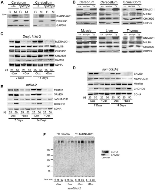 Expression analysis of mutant muDNAJC11 and biochemical interaction of huDNAJC11 with MICOS members.(A) Western blot analysis of fractionated brain tissue from DnaJC11spc/spc (spc/spc) mice and WT (+/+) littermates showing the loss of muDNAJC11 protein in DnaJC11spc/spc tissue. Prohibitin is a mitochondrial specific marker and GAPDH a cytoplasmic marker. (B) Equal amounts of isolated mitochondria from the indicated mouse tissues were analyzed by Western blot and probed for known members of the MICOS complex. Glucose related protein 75 (GRP75) was used as a loading control. (C) dnajc11kd-3, (D) sam50kd-2 or (E) mflkd-2 cells were grown in the absence (-Dox) or presence (+Dox) of doxycycline for 7 or 14 days, mitochondria were isolated, and 25 or 50 µg of protein were analyzed by SDS-PAGE and probed for the indicated proteins. SDHA, the component of the respiratory complex II, was used as a loading control. CHCHD3 and 6, coiled-coil-helix-coiled-coil-helix domain containing protein 3 and 6; SAM50, Sorting and assembly machinery 50; SDHA, Succinate Dehydrogenase subunit A. (F) Mitochondria from non-induced and induced sam50kd-2 knockdown cells after 7 days of induction with doxycyclin (Dox) were isolated and incubated with the radiolabeled mitofilin and DNAJC11 (the longest isoform) for the indicated time periods. Samples were analyzed by BN-PAGE and autoradiography. The panel on the right hand side shows the control of the knockdown, where 50 µg of mitochondria from –Dox and +Dox samples were analyzed by SDS-PAGE and Western blot using antibodies against Sam50 and SDHA.