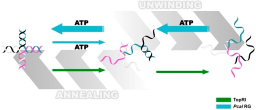 Diagram comparing the activities of the S. solfataricus TopR1 and P. calidifontis PcalRG reverse gyrases on synthetic Holliday junctions. Light blue arrows indicate PcalRG activities (ATP-dependent unwinding and ATP-indepedent annealing); green arrows indicate TopR1 ATP-independent unwinding; the four DNA strands are shown in white, pink, black and blue, respectively. Whereas TopR1 unwinding activity proceeds up to single strand oligonucleotides, the main products of PcalRG unwinding are Y-shaped forks, likely because single strand products are annealed back [104,113].