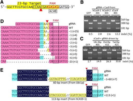Validation of maize codon-optimized Cas9 and three Pol-III promoters driving gRNA expression in maize protoplasts. (A) Sequence of the target site from the ZmHKT1 locus. The PAM, the putative cleavage site (red arrowhead), and the XcmI site (boxed) are indicated. (B,C) Mutation analysis by XcmI digestion of PCR fragments. GFP, 201, 301, 401 (B): PCR fragments amplified from the genomic DNA of maize protoplasts transfected with pUC-GFP (control), pBUN201-ZT1, pBUN301-ZT1, and pBUN401-ZT1, respectively. The three CRISPR/Cas9 vectors have the same gRNA but different Cas9: hCas9-1/2, two types of human-codon-optimized Cas9; zCas9, Zea mays codon-optimized Cas9. GFP, 401, 411, 421 (C): PCR fragments from the pUC-GFP, pBUN401-ZT1, pBUN411-ZT1, and pBUN421-ZT1 transfections, respectively; the three CRISPR/Cas9 vectors have the same zCas9 and gRNA, but the gRNA is driven by three different Pol-III promoters. − and + indicate whether the PCR fragments were digested with XcmI. Mutation efficiency (% indel) calculated based on the percent ratios of residual undigested PCR fragments (+ lanes: 569 bp) to total PCR products (− lanes); the WT indel values should be treated as the background level. (D,E) Alignment of sequences of mutated alleles identified from cloned PCR fragments resistant to XcmI digestion. The mutated alleles include deletions (D) and insertions (E). Dots, deleted bases. Highlighting denotes the degree of homology of the aligned fragments, and only aligned regions of interest are shown. The type of indel and the number of indels of the same type are indicated.