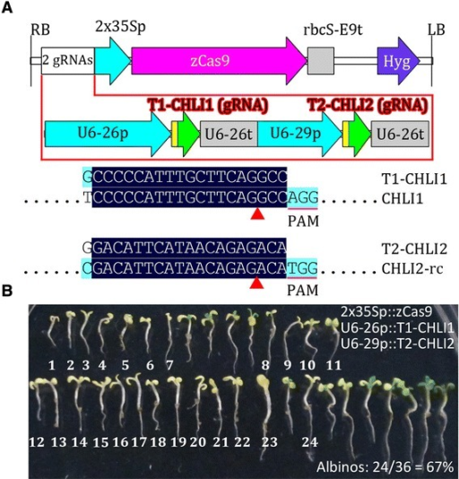 Validation of pCAMBIA-derived CRISPR/Cas binary vectors inArabidopsis. (A) Physical map of T-DNA of the pCAMBIA-derived vector carrying two-gRNAs targeting two Arabidopsis genes (CHLI1 and CHLI2). The alignment of gRNA with its target gene is shown. Only aligned regions of interest are displayed. -rc, reverse complement. (B) Phenotypes of all transgenic seedlings from one screening. The T0 seeds were screened on hygromycin MS plates for 7 days, and all of the hygromycin-resistant seedlings were transferred to a fresh MS plate before photographing. The albino seedlings were numbered.