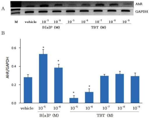 Effects of benzo[α]pyrene (B[a]P) and tributyltin (TBT) on aryl hydrocarbon receptor (AhR) gene expression in cultured eel hepatocytes. Hepatocytes which were isolated from eels treated previously with B[a]P (10 mg/kg) in vivo were cultured for 2 days with B[a]P or TBT. Differences in the mRNA level after each treatment were estimated by RT-PCR, and visualized on 1% agarose gels (A). The optical density of each band was quantified in a Bio Image System (Kodak) and normalized to the GAPDH (B). Lanes 1: vehicle (DMSO), 2: B[a]P 10-5 M, 3: B[a]P 10-6 M, 4: TBT 10-5 M, 5: TBT 10-6 M, 6: TBT 10-7 M, 7: TBT 10-8 M, 8: TBT 10-9 M. Values are mean±SD (n=3). Asterisk (*) indicates significant difference with respect to the vehicle (control) (p<0.05).
