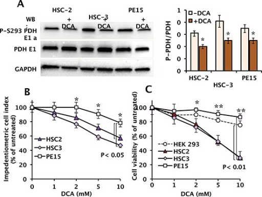 "Effect of DCA on phosphorylation of the PDH-E1α subunit and cell growth and viability in OSCC(A) Western blot of the phospho-S293 E1α PDH and of the total enzyme subunit in OSCC cells following a 24 h incubation with vehicle and 10 mM DCA; GAPDH levels were used as loading control. The blot shown is representative of three independent experiments. Panel on the right: quantitative analysis of phospho-S293 E1 α PDH expression relative to total PDH E1α normalized to GAPDH, carried out by a densitometric analysis (""Image Lab"" software, Biorad). The results are the means (± SEM) of three independent experiments. (*) P < 0.05. (B) Dose-dependent effect of DCA treatment on cell growth analysed by using an impedentiometric technique (xCELLigence RTCA MP System, Roche, Germany). Continuous monitoring of cell adhesion and proliferation was carried out for 24 h after incubation of cells with the indicated concentrations of DCA, and expressed as the percentage (%) of the cell index of untreated cells; means (± SEM) of three repeats. (*): P < 0.05. (C) Dose-dependence effect of DCA treatment on cell viability. Cells were exposed for 24 h to the indicated concentrations of DCA and viability determined with the MTS assay. Non-malignant human HEK 293 cells were used as representative of a non tumor cell line. Cell viability is expressed as the percentage (%) of untreated cells. The data shown are means (± SEM) of 6 independent experiments; (*) P < 0.05; (**) P < 0.01."