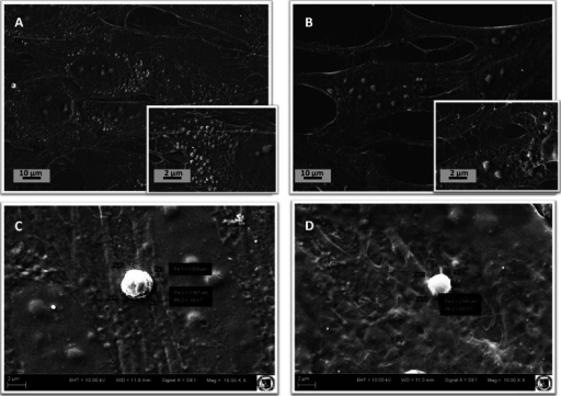 SEM images of equine ASC cultures exposed to magnetic field (A) and the control culture (B); MVs secreted from the cells cultured under magnetic field (C) and control conditions (D). MVs diameters and appropriate scale bars are indicated.