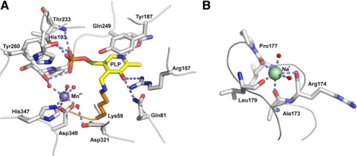 Structure of the active site and the metal binding sites of AxDTA.(A) Close-up view of the region around the PLP-cofactor (shown in yellow). Amino acid residues are shown as gray sticks. The manganese ion is depicted as a magenta sphere. Water molecules are shown as small red spheres. Potential hydrogen bonds and the metal coordination are indicated by light blue, dashed lines. (B) Close-up view of the sodium ion (green sphere) binding site. Residues coordinating the Na-ion are shown as gray sticks, metal bound water molecules are shown as small red spheres. Metal coordination is indicated by light blue, dashed lines.