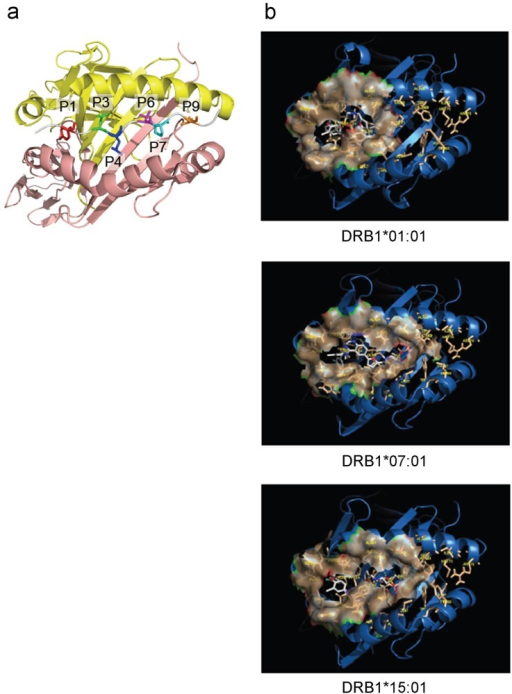 Binding pockets and molecular docking results.(a) Primary binding pockets are illustrated with a representative HLA system. P1 (red), P3 (green), P4 (blue), P6 (purple), P7 (cyan), P9 (orange). (b) Molecular docking results. The top binding mode is illustrated for each HLA-ligand system.