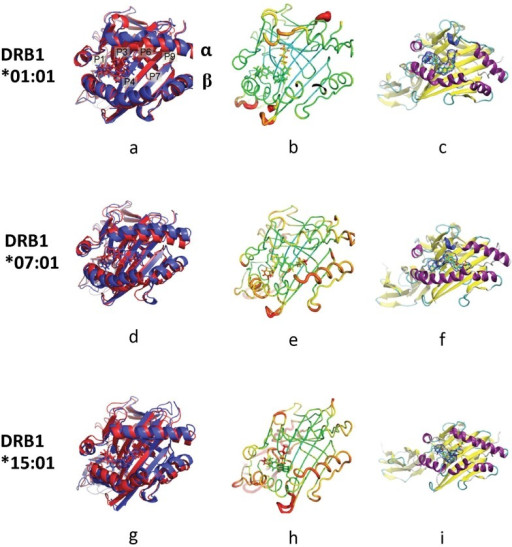 Simulated structures of lapatinib-bound HLA system.Lapatinib-bound HLA-DRB1*01:01 (a-c), DRB1*07:01 (d-f) and DRB1*15:01 (g-i). (a), (d) and (g) Alignment of an initial structure (red) and a representative structure (blue). The difference between the red and blue structures illustrates how the system changes from the beginning of the simulation to the end of the simulation. (b), (e) and (h) Sausage plot of the structure where the color and the thickness of HLA are proportional to the RMSF of α carbon. The color scales for the sausage plots are the same throughout this document. (c), (f) and (i) The volume occupied by lapatinib. The blue envelope means the region occupied by lapatinib at least half the MD frames. Specifically, the blue envelope around lapatinib is the region occupied by lapatinib in at least 50% of the frames of the simulation.