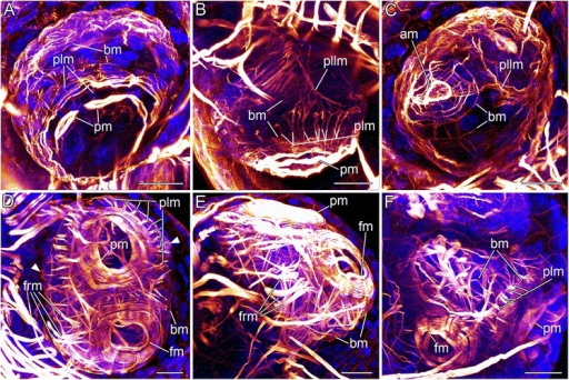 Confocal micrographs revealing the myoanatomy of different embryonic stages of Loxosomella murmanica. Scale bars: 20 μm. Nucleic acid staining (blue), F-actin staining (red). a: Ventro-lateral view of an early embryonic stage showing developing prototroch ring muscles (pm), body wall musculature (bm) and early prototroch longitudinal muscle fibers (plm). b: Lateral view of an early embryo. Developing body wall musculature (bm), prototroch ring muscles (pm) and prototroch longitudinal muscles (plm) are visible. The paired lateral longitudinal muscles (pllm) have formed. c: Apical view of an early embryo with a meshwork of concentric and longitudinal muscle fibers and developing apical ring muscles (am), body wall musculature (bm) and paired lateral longitudinal muscles (pllm). d: Ventral view of an older embryonic stage showing the prominent ring muscles of the prototroch (pm) and the frontal organ (fm). Prototroch longitudinal muscles (plm) and frontal organ retractor muscles (frm) have thickened. The left and right protonephridial porus with stained ring muscles (arrowheads) are visible on both sides of the embryo. e: Lateral view of an older embryonic stage with prominent frontal organ retractor muscles (frm). f: Fronto-lateral view of a late embryonic stage, probably close to hatching. The musculature resembles that of a fully developed creeping-type larva