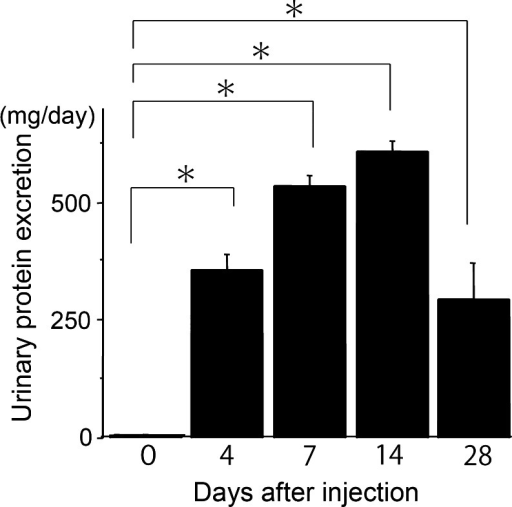 Puromycin aminonucleoside nephrosis rats showed significant proteinuria. Urinary protein was measured before and after the peritoneal injection of PA (15 mg/kg) to rats (n ≥ 4). On days 4, 7, 14 and 28 urinary protein was significantly increased (p < 0.001) (mean ± SE)