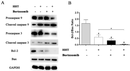 Effects of HHT and Bortezomib on caspases and Bcl-2 family proteins.HHT and Bortezomib simultaneously actived caspase 9 and caspase 3, induced the up-regulation of Bax protein and the down-regulation of Bcl-2 protein after 72 h exposure. *P < 0.05, #P < 0.01 vs untreated control.