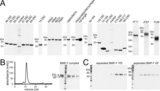 Affinity purification of recombinant proteins used in this study.A, Coomassie Brilliant Blue-stained SDS-polyacrylamide quality control gels of recombinantly expressed and affinity-purified BMP-7 PD variants and proteins representing the fibrillin-1 N terminus. B (left), size exclusion chromatogram of the BMP-7 PD-GF complex after chelating chromatography utilizing the His6 tag placed at the N terminus of the PD. The chromatogram shows the BMP-7 PD-GF complex mainly eluting in one peak. Right, Coomassie Brilliant Blue-stained SDS-polyacrylamide gel showing the purity of the peak fraction. C, Coomassie Brilliant Blue-stained SDS-polyacrylamide gels showing successful separation of the GF from the PD. The separation was performed as described previously (20). BMP-7 complex was separated into BMP-7 PD (34 kDa) and GF dimer (31 kDa) after dialysis into 8 m urea followed by chelating chromatography, where the PD was bound to the affinity column, and the GF was obtained in the flow-through.