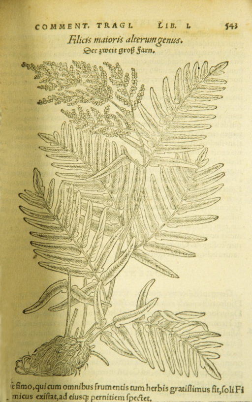 <p>Woodcut illustration of a fern plant.</p>