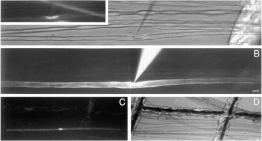 Dye injection into living, teased myelinated fibers from mouse sciatic nerve. Shown are  images of a single fiber that was iontophoretically injected with 5,6-carboxyfluorescein. (A)  Polarized light in combination with fluorescent  bis-benzamide staining (inset) shows an electrode near a Schwann cell nucleus. (B) Diffusion  of 5,6-carboxyfluorescein during iontophoretic  injection. (C) Diffusion of dye from node to  node was observed within 0.5–5 min (this image  was captured at ∼1 min into injection). (D) After imaging of dye diffusion, injected fibers were  mapped at lower magnification relative to grid  lines (same field as C) to facilitate identification  for confocal microscopic analysis. Bars, 10 μm.
