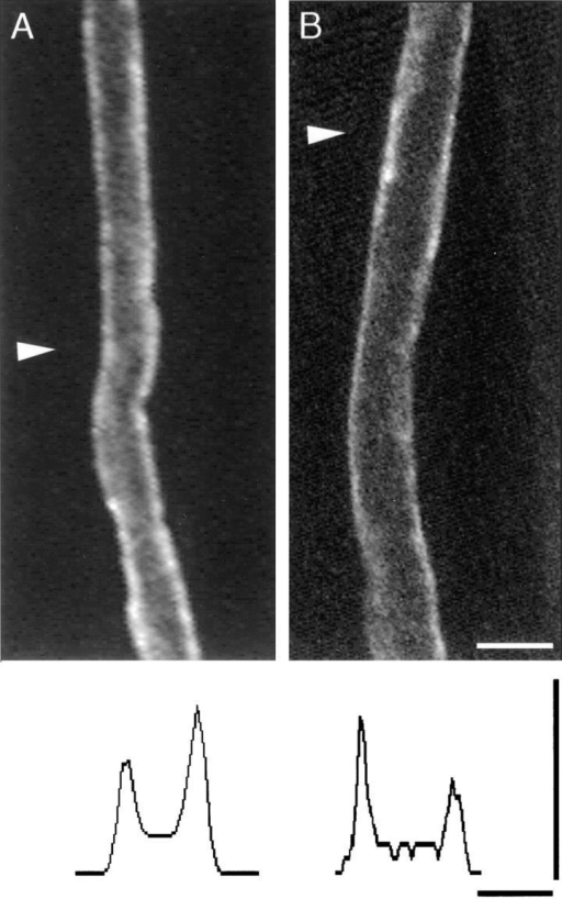 High molecular mass compounds do not diffuse across  incisures. (A) Absence of a double line of dye staining 2 h after  pressure injection of 3,000-Da rhodamine-conjugated dextran.  (B) Subsequent confocal analysis of the same fiber did not reveal  a double line pattern anywhere in the z projection of the cell;  shown is a single confocal plane midway through the cell. Intensity profiles (marked by white arrowhead) illustrated at the bottom of each panel (scale, 0–255 intensity levels) confirm the absence of a doublet in any of the intensity peaks. In many cases,  dye appeared to pool in the outer collar of cytoplasm near incisures but did not fill them (for example, upper left-hand edge of  fiber above white arrowhead). Bars, 10 μm.