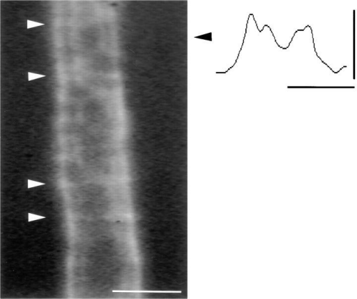 Evidence for functional gap junctions in the incisures of  cx32- mice. Shown is a portion of a myelinated fiber from the  sciatic nerve of a cx32- mouse after injection of 5,6-carboxyfluorescein; the location of incisures is marked with white arrowheads. The intensity profile is illustrated for this fiber (scale,  0–255 intensity levels) across a line perpendicular to its long axis  at the location indicated by the black arrowhead. As in myelinating Schwann cells from wild-type mice, a train track pattern is apparent on at least one side of the axon. Bar, 10 μm.