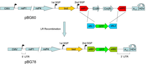 Structure of the Gateway SINV replicon plasmids pBG60 and pBG78. Transcription of the viral RNA is initiated by the cytomegalovirus immediate early (CMV) promoter and terminated by a polyadenylation signal 3' of the HDV ribozyme (not shown). The hepatitis delta virus (HDV) ribozyme trans-cleaves the RNA, resulting in an authentic 3' RNA end. bsd represents the blasticidin S-deaminase gene. The Gateway attR1/attR2 recombination sites are positioned 3' of the 2nd SGP. CcdB represents E. coli DNA Gyrase poison. Cm(R) represents chloramphenicol acetyltransferase. Recombination of the pBG60 plasmid with pBG76 results in the pBG78 plasmid.