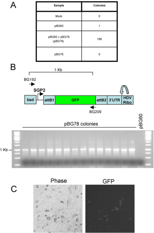 Efficiency of recombining genes into pBG60 vector. A. Bacterial colonies obtained from recombination reactions. B. Structure of the pBG78 2nd SGP and position of asymmetric colony PCR primer pair. C. Colony PCR of 14 independent clones from colonies in Figure 2A. D. pBG78 plasmids produce replication-competent RNA in BHK cells. BHK cells were transfected with one random pBG78 clone and fluorescence signal was detected 48 hours post transfection.
