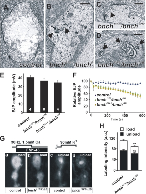 Abnormal membranous structures and presynaptic endocytic defects at the bnch NMJ. (A–D) Ultrastructure of yw (A, control), yw; bnchE14.1/bnchP (B) and yw; bnch11F5/bnchΔ2B (C and D) NMJ boutons at rest. Bars represent 0.5 μm. Membranous inclusions in bnch mutant boutons range from smaller (0.2 μm) vesicular structures with a single limiting membrane (C, arrow) to larger multilamellar bodies (0.3–1.2 μm) (B and D, arrows) that are absent in controls (A). (E and F) EJP recordings in 1 mM Ca2+ from muscle 6 in yw (control), yw; bnch11F5/bnchΔ2B, and bnch11F5/bnchΔ2B third instar larvae. Quantification of EJP amplitudes shows no significant differences between bnch mutants and controls (E). (F) High frequency (10 Hz) stimulation during 10 min reveals a gradual rundown of the EJP amplitudes in bnch mutants (green and yellow) but not controls (blue). (G and H) FM1-43 dye loading and unloading experiments in yw (control) and yw; bnch11F5/bnchΔ2B third instar larval NMJs preparations. FM1-43 dye was loaded during 5 min 30 Hz stimulation in 1.5 mM Ca2+ and 5 min rest (G, a and b). Unloading of the RRP of synaptic vesicles was achieved by 90 mM K+ stimulation during 5 min (G, c and d). Note the subtle decrease in FM1-43 uptake in bnch mutants (G, b) compared with controls (G, a). Unloading of the RRP is similar in bnch mutants (G, d) and controls (G, c). Quantification of these results is shown (H).
