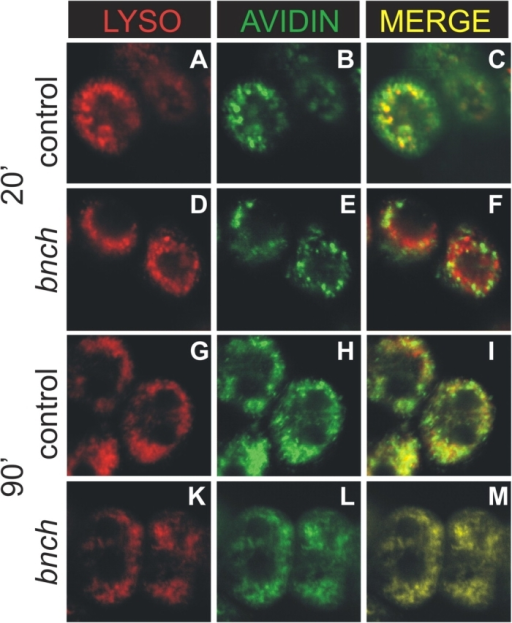 Endosome-to-lysosome trafficking is reduced in bnch mutant garland cells. Endocytosed A-avidin is labeled in green and Lysotracker in red. After 20 min, strong colabeling of avidin positive endosomes and Lysotracker was observed in wild-type cells (A–C), whereas in bnch mutant cells the vast majority of A-avidin positive endosomal compartments was detected outside Lysotracker-positive compartments (D–F). After 90 min A-avidin– and Lysotracker-positive compartments nearly completely overlapped in both wild-type (G–I) and bnch cells (K–M).
