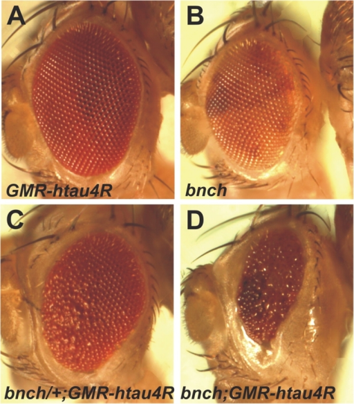 Loss of bnch enhances tau neurotoxicity in a dose-dependent manner. (A and B) Eyes that express one copy of GMR-htau4R (A) or lack bnch (B) appear morphologically normal. (C and D) Removal of one copy of bnch in eyes expressing one copy of GMR-htau4R induces a mild rough eye phenotype (C), whereas overexpression of one of GMR-htau4R copy in a bnch  background results in a small and rough eye (D).