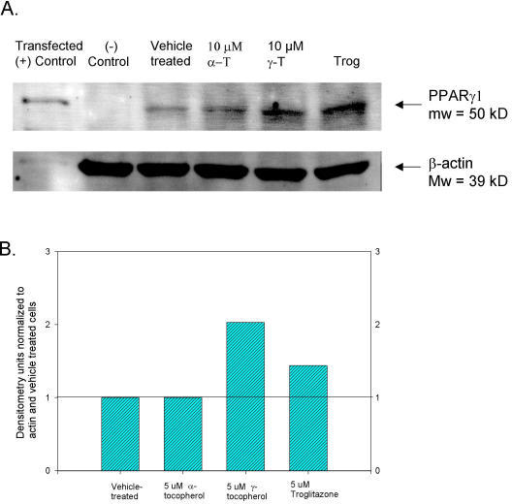 Tocopherol upregulation of PPARγ protein by Western Blot analysis of A)48-hour tocopherol-treated SW480 whole cell lysates: lane 1 – PPARγ control from transfected COS cells, lane 2 – negative control from untreated Jurkat cells, lane 3 – vehicle-treated control, lane 4 – 10 μM α-tocopherol, lane 5 – 10 μM γ-tocopherol, lane 6 – 100 μM troglitazone. B) Bar graph of densitometries for Western Blot shown in figure 5A.