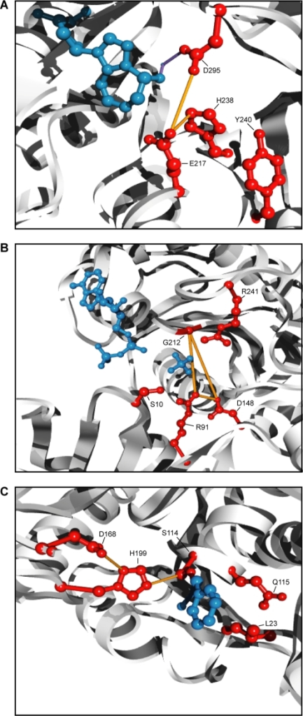 Coevolution between catalytic sites.All catalytic sites annotated by the CSA [30] and tested for coevolution (i.e.≤20% gaps) are depicted in red. The protein backbones are depicted as a white ribbon. Coevolving catalytic residues are connected by orange lines. (A) Active site of murine adenosine deaminase (PF00962, PDB 1a4l) [38]. The inhibitor, pentostatin, and a coordinating Zn2+ ion are depicted in blue. The coordinating interactions with Zn2+ is depicted as purple lines [38]. (B) The nucleotide binding site of Methanosarcina thermophila acetate kinase (PF00871, PDB 1g99) [39]. The bound ADP molecule and a sulfate ion are depicted in blue. (C) Active site of Pseudomonas fluorescens carboxylesterase (PF02230, PDB 1aur) [40]. The inhibitor, phenylmethylsulfonyl fluoride, is covalently bound to Ser114 and its phenylmethylsulfonyl moiety is depicted in blue.