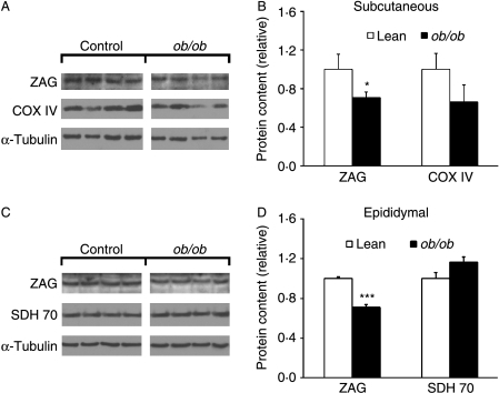 ZAG protein expression in adipose tissue of ob/ob and lean mice. Protein was extracted from subcutaneous and epididymal fat of lean (ob/+) and ob/ob mice, and western blotting was used for protein expression of ZAG, COX IV, SDH 70 and α-tubulin. Representative western blot and quantification of protein expression normalised to α-tubulin in subcutaneous (A and B) and epididymal (C and D) fat. Data are means±s.e.m. for groups of 6. *P<0·05, ***P<0·001 compared with lean controls.