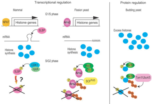 General view of the species-specific regulation of histone homeostasis. In mammals (left) [45], histone transcription is activated by NPAT (Nuclear protein, ataxia-telangiectasia locus) and SLBP is then bound to the 3' end of histone mRNA, by which it prevents degradation of mRNAs, resulting in synthesis of histone proteins. At the end of S phase, CDK1-cyclinA (cycA) phosphorylates SLBP to trigger its degradation, restraining further transcription of histone mRNAs. In fission yeast (middle) [20], Ams2 activates histone transcription at G1/S phase. At the S/G2 phase, Ams2 is phosphorylated by DDK, leading to degradation via the SCFPof3-ubiquitin proteasome pathway. In budding yeast (left) [36], excess histones are recognised and phosphorylated by Rad53. The histone-Rad53 complex is recognised by the Ubc4/5 (E2) and Tom1 (E3) and is polyubiquitylated. Histones with a polyubiquitin chain are degraded by the proteasome.
